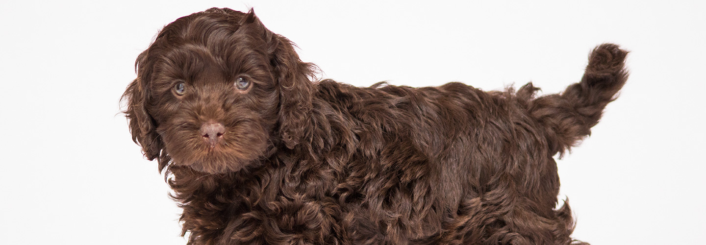 Australian labradoodle puppies in asheville nc